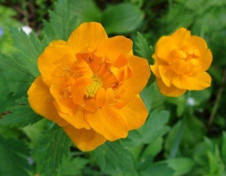 Купальница: выращивание и правильный уход