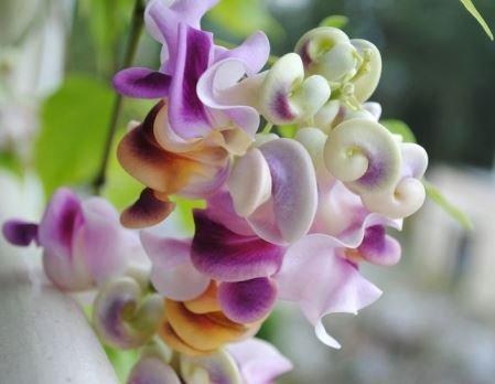 Вигна Каракалла - выращивание и правильный уход