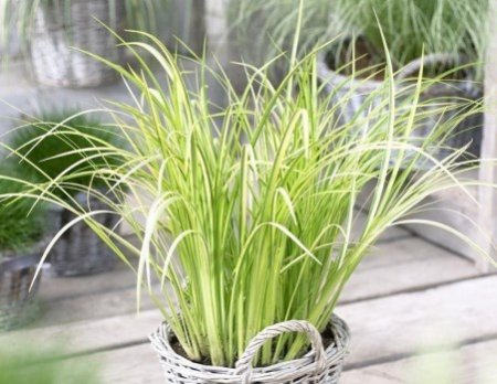 Аир: выращивание и правильный уход