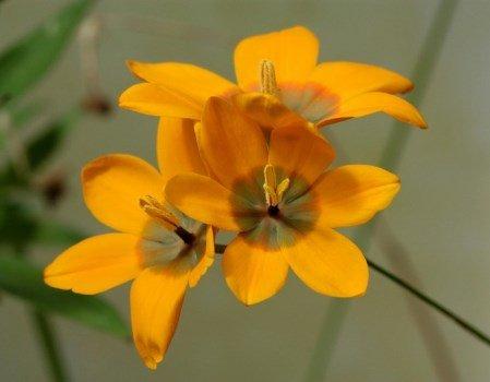 Иксия: выращивание и